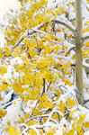 Yellow Leaves and Snow