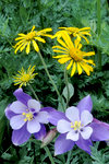 Yellow Daisies and Purple Columbine With Green Vegitation